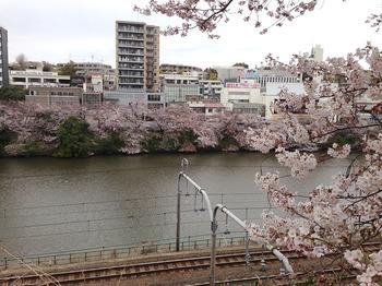 2015花見 2新宿通り桜並木.jpg