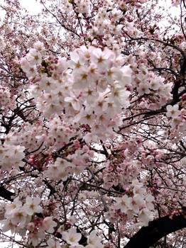 2015花見 3風が吹くのでピントが合わない.jpg