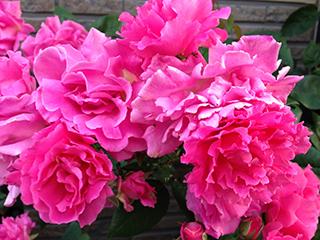 ゼフィリンドルーアン満開 05 花型混在.jpg