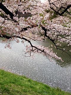 千鳥ヶ淵の夜桜 03 水辺に花が散る.jpg