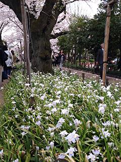千鳥ヶ淵の夜桜 07 シャガと桜.jpg