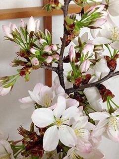 山桜の枝 02 つぼみがたくさん.jpg