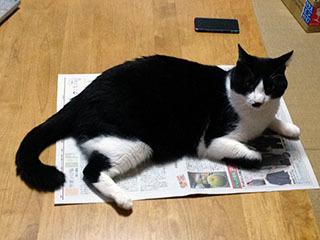 新聞を読ませない猫 01 ねえチョビ君、ちょっとどいてくれない? 嫌だ.jpg
