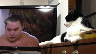 相撲を見る猫 鶴竜引き技で妙義龍に敗れる.jpg